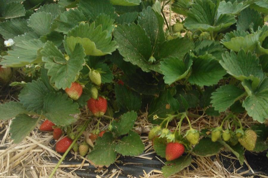 Erdbeersorte Fenella