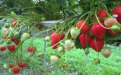 Erdbeersorte Harmony