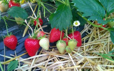 Erdbeersorte Malling Centenary
