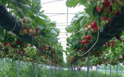 Erdbeersorte Sibilla