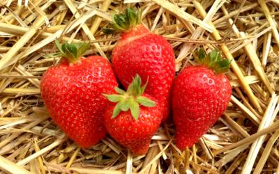 Erdbeersorte Alba