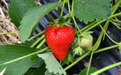 Erdbeersorte Aprica