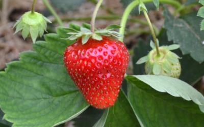 Erdbeersorte Daroyal