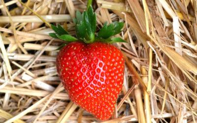 Erdbeersorte Faith