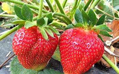 Erdbeersorte Flair
