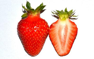 Erdbeersorte Lofty