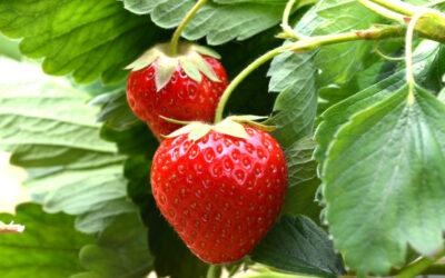 Erdbeersorte Renaissance