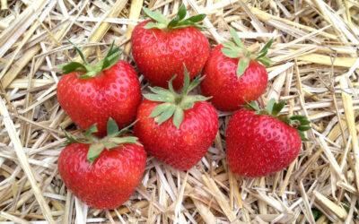 Erdbeersorte Rendezvous
