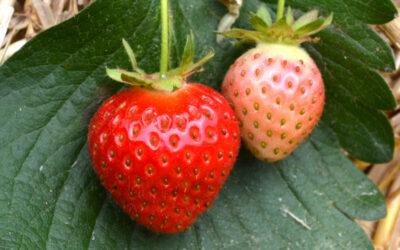 Erdbeersorte Rumba