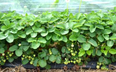 Pflanzung von Erdbeeren im Tunnel