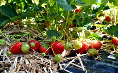 Wichtige Nährstoffe der Erdbeerpflanze
