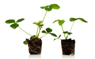 Anbaumethoden für Erdbeerpflanzen
