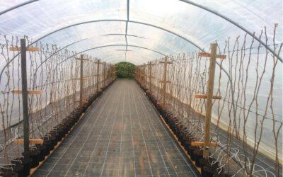 Anbaumethoden für Himbeerpflanzen
